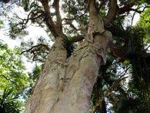 Tronc et couronne d'arbre épineux-leaved de paperbark et de x28 ; tree& x29 de thé ; en parc Photographie stock libre de droits