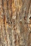 Tronc et dommages d'arbre des insectes de sondage en bois Images stock