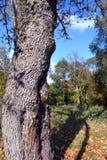 Tronc et ombre d'arbre d'érable d'automne Image libre de droits