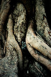 Tronc et racine d'arbre de bothi Image libre de droits