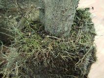 Tronc et racines d'arbre Image libre de droits