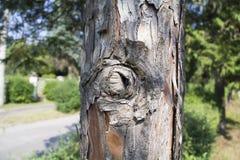 Tronc inextricable d'un pin avec un fond trouble photographie stock