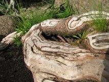 Tronc noueux d'un vieil arbre dans l'herbe Photographie stock