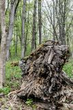 Tronc putréfié tombé d'un arbre massif photographie stock