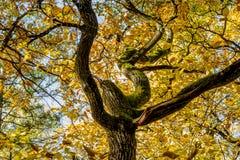 Tronc sinueux de chêne avec le feuillage jaune photos stock