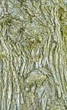 Tronc texturisé d'un arbre à feuilles caduques Image libre de droits