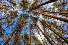 Tronchi alti dei pini su un fondo di cielo blu nella foresta fotografia stock libera da diritti
