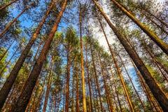 Tronchi alti dei pini su un fondo di cielo blu nella foresta immagini stock