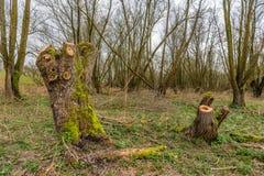 Tronchi appena degli alberi di salice potati invasi con muschio verde Fotografia Stock
