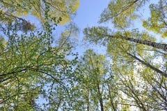 Tronchi degli alberi con le foglie verdi contro il cielo blu immagine stock libera da diritti