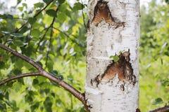 Tronchi degli alberi di betulla nella priorità alta Fotografie Stock