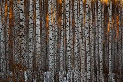 Tronchi degli alberi di betulla in un boschetto della betulla al tramonto fotografie stock libere da diritti