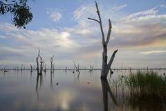 Albero di gomma nel lago Mulwala, Australia Immagine Stock