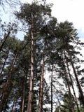 Tronchi degli alberi lunghi al cielo immagini stock
