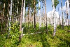 Tronchi degli alberi nel percorso di camminata della foresta nella foresta mista fotografia stock libera da diritti