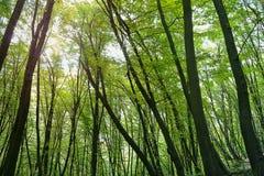 Tronchi degli alberi in una foresta Fotografia Stock Libera da Diritti