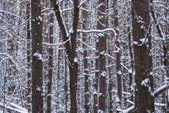 Tronchi degli alberi in una foresta innevata di inverno Immagine Stock Libera da Diritti