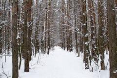 Tronchi degli alberi in una foresta innevata di inverno Fotografie Stock Libere da Diritti