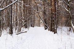 Tronchi degli alberi in una foresta innevata di inverno Fotografia Stock Libera da Diritti