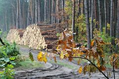 Tronchi del pino Fotografie Stock