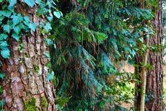 tronchi del pino di rappresentazione della foto, edera che scalano sulla cima e un altro piccolo pino che prova a svilupparsi in  fotografie stock