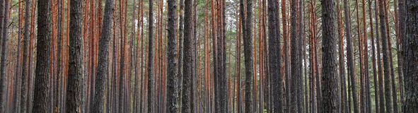 Tronchi dell'albero forestale di abetaia fotografie stock libere da diritti