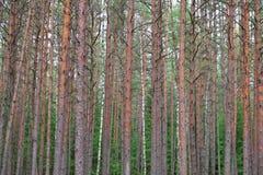 Tronchi dell'albero forestale di abetaia fotografia stock