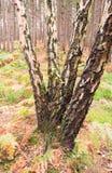 Tronchi della betulla Fotografia Stock
