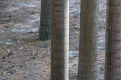 Tronchi della palma del bambino in una linea su un'isola tropicale W naturale Fotografie Stock