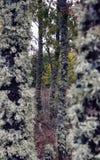 Tronchi della quercia con i licheni in autunno Fotografie Stock