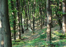 Tronchi di alberi in una foresta verde Immagini Stock Libere da Diritti