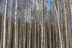 Tronchi di albero bianchi della foresta della betulla in autunno fotografia stock libera da diritti