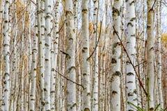 Tronchi di albero bianchi della foresta della betulla in autunno immagini stock