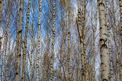 Tronchi di albero bianchi della foresta della betulla in autunno fotografie stock