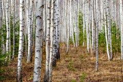 Tronchi di albero bianchi della foresta della betulla in autunno immagine stock