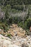 Tronchi di albero bruciati fra la foresta della gomma di rigenerazione Fotografia Stock