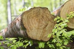 Tronchi di albero del faggio immagine stock