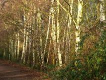 Tronchi di albero della betulla d'argento accanto ad una traccia del terreno boscoso immagini stock libere da diritti