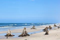 tronchi di albero di 3000 anni sulla spiaggia dopo la tempesta Immagini Stock