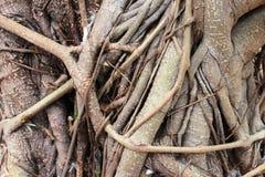 Tronchi di albero intrecciati Fotografia Stock