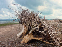 Tronchi di albero lavati a terra Fotografie Stock