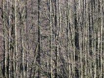 Tronchi di albero lunghi diritti senza foglie fotografia stock