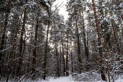 Tronchi di albero nella foresta di inverno Immagini Stock Libere da Diritti