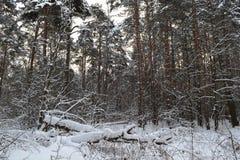 Tronchi di albero nella foresta di inverno Immagine Stock