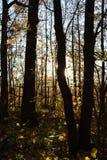 Tronchi di albero scuri sul tramonto Contrapponga la luce nella foresta di autunno fotografia stock libera da diritti
