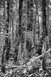 Tronchi di albero spaventati BW Fotografie Stock