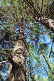 Tronchi di albero spessi in foresta il giorno di estate soleggiato Fotografia Stock