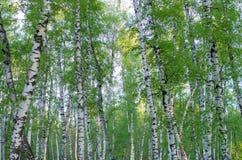 tronchi di albero in un boschetto della betulla fotografie stock libere da diritti