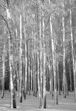 Tronchi di inverno delle betulle in bianco e nero Immagini Stock Libere da Diritti