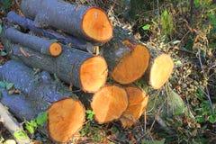 Tronchi di legno nella foresta Fotografia Stock